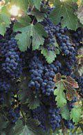 ���� ������� ������ � ���� ������ � ����� ����� � ���� ����� ������� napa_grapes.jpg