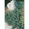 2.5-Quart Blue Pacific Shore Juniper Accent Shrub (L3261)