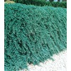 2.5-Quart Blue Rug Juniper Accent Shrub (L3121)