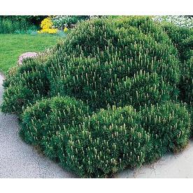 2.25-Gallon Mugo Pine (L14438)