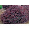 2.5-Quart Crimson Pygmy Barberry Accent Shrub (L10821)