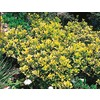 2.5-Quart Golden Euonymus Accent Shrub (L3159)