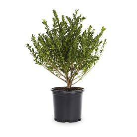 2.5-Quart Compact Japanese Holly Foundation/Hedge Shrub (L5284)