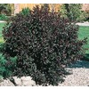 3.25-Gallon Pink Sand Cherry Feature Shrub (L9311)