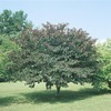 5.5-Gallon Forest Pansy Redbud Tree (L1071)