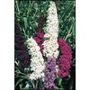 2.25-Gallon Purple Butterfly Bush Flowering Shrub (L8073)