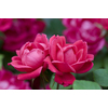 2.25-Gallon Double Knock Out Rose (LW02389)