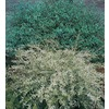 3.25-Gallon Dappled Willow (L20514)