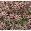 1 Gallon Flowers Admiration Barberry (L24260)
