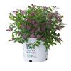 3-Gallon Pink Spirea Flowering Shrub