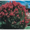  2.5-Quart Crape Myrtle (L6644)