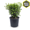 2.5-Quart Japanese Boxwood Foundation/Hedge Shrub (L5873)
