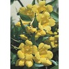 3.25-Gallon Carolina Jessamine (L7472)