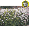 2.5-Quart Mixed Indian Hawthorn Foundation/Hedge Shrub (L11166)