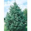 3.25-Gallon Arizona Cypress (L5089)