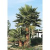 3.25-Gallon Mexican Fan Palm (L3048)