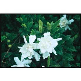 2.25-Gallon White Frost Proof Gardenia Flowering Shrub (LW00231)