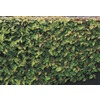 2.5-Quart Creeping Fig (L9249)