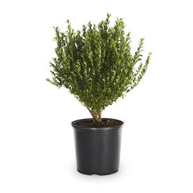 2.25-Quart Compact Japanese Holly (L5284)