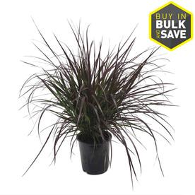 Shop 2.5-Quart Purple Fountain Grass (L8564) at Lowes.com
