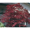 5.5-Gallon Assorted Upright Japanese Maple (L5413)