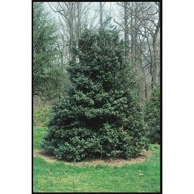 1.5-Gallon American Green Leaf Holly Feature Shrub (L7840)
