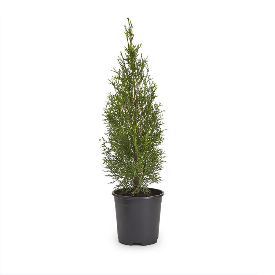 shop 2 5 quart emerald green arborvitae l5480 at