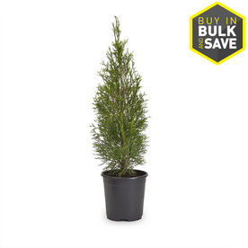 2.5-Quart Emerald Green Arborvitae (L5480)