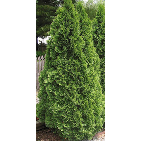 2.25-Quart Emerald Green Arborvitae (L5480)