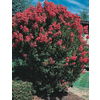  10.25-Gallon Crape Myrtle (L6644)
