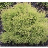 1 Gallon Flowers Fire Chief Arborvitae (L24222)