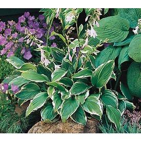 Quart Plantain Lily (LB029)