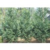 3.6-Gallon Irish Eyes Cypress (L11806)