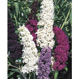 3.25-Gallon Purple Butterfly Bush Flowering Shrub (L8073)