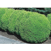 2.5-Quart Green Mountain Boxwood Foundation/Hedge Shrub (L7204)
