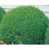 3.25-Gallon Green Velvet Boxwood Foundation/Hedge Shrub (L7205)