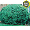  2.5-Quart Dwarf English Boxwood (L4185)