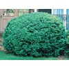 2.75-Gallon Dwarf English Boxwood Foundation/Hedge Shrub (L4185)