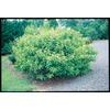 2.25-Gallon Lavender American Beautyberry Accent Shrub (L14856)