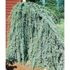 8.75-Gallon Weeping Blue Atlas Cedar (L8098)