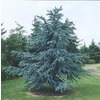 3.25-Gallon Blue Atlas Cedar Tree (L4673)