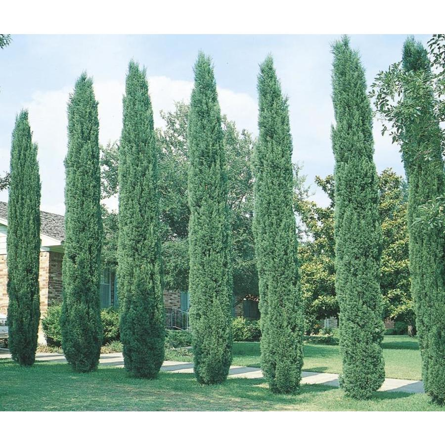 Pictures Of Cedar Trees