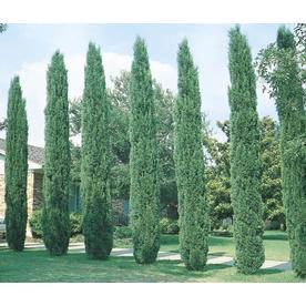 3.25-Gallon Italian Cypress (L3291)