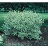 3.25-Gallon White Variegated Dogwood (L6198)