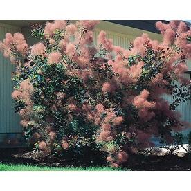 1.5-Gallon Pink Smoke Tree Feature Shrub (L4697)