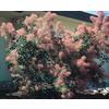 3.25-Gallon Pink Smoke Tree Feature Shrub (L4697)
