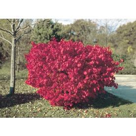 5.5-Gallon Burning Bush Foundation/Hedge Shrub (L1008)