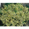1.5-Gallon Emerald N Gold Euonymus (L9280)
