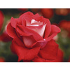 1.74-Gallon Bud and Bloom Rose (L10150)