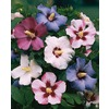 2.5-Quart Mixed Rose of Sharon Flowering Shrub (L1203)